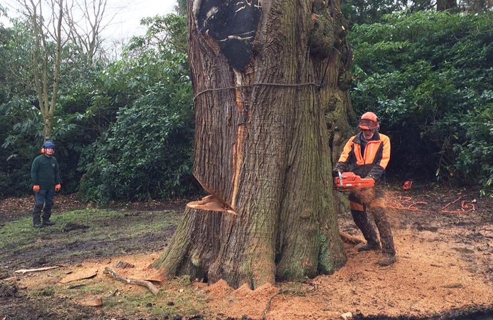 Wainwright UK Large Tree Felling